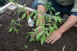 Planting tomatoes on Yale's West Campus