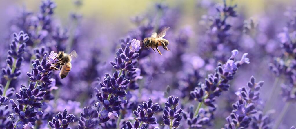 bees pollinating lavender